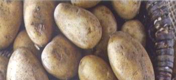Можно ли есть картошку с зелеными пятнами? А проросшую?