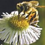 Лечебный мед и химиотерапия